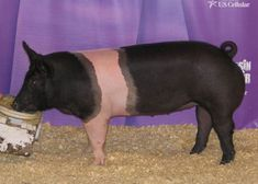 Grand champion hampshire hog.  This hog is amazing I have never seen a better gilt like this one she is shaved just perfectly awesome muscles