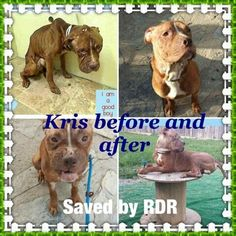 Kris is an adoptable Pit Bull Terrier searching for a forever family near New York, NY. Use Petfinder to find adoptable pets in your area.