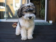 i want this cute little polish lowland sheepdog puppy