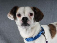 Petango.com – Meet Rez, a 1 year Terrier, Jack Russell / Pug available for adoption in COLORADO SPRINGS, CO