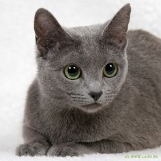 Russian blue cat #RussianBlueCat