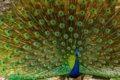 https://flic.kr/p/v4uWdL   Peacock Dance!   The wonders of nature! A peacock trying to impress its audience and succeeding :)