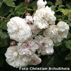 Zartrosa - Rambler - Kletterrosen - Rosen – Rosen online kaufen im Rosenhof Schultheis