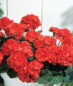 Geranium, Big Red Hybrid  Huge flowers, twice the size of other seed varieties.