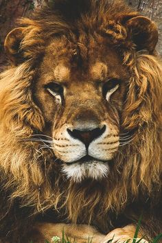 Animals: Portrait of a Lion Beautiful Cats, Animals Beautiful, Animals And Pets, Cute Animals, Lion Love, Tier Fotos, Cheetahs, Mundo Animal, Big Cats