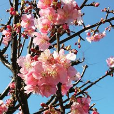 【yum1216】さんのInstagramをピンしています。 《寒桜?が咲いていてきれいだった〜 蕾もいっぱい  The cherry tree which has a lot of buds. Spring is coming soon. #iphone6s  #山ガール #山が好き #花が好き #花 #flower #flowers #park #flowerphotography #はなまっぷ #春はもうすぐ #spring #yokohama #wp_flower #蕾 #つぼみ #寒桜 #桜 #button #walking #walk #cherry #tree #pink #wintercherryblossoms #cherry blossoms #winter》