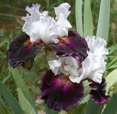 Plant database entry for Tall Bearded Iris (Iris 'Starring') with 47 images, one comment, and 33 data details. Iris Flowers, Exotic Flowers, Amazing Flowers, Planting Flowers, Beautiful Flowers, Iris Garden, Love Garden, Garden Bulbs, Garden Plants
