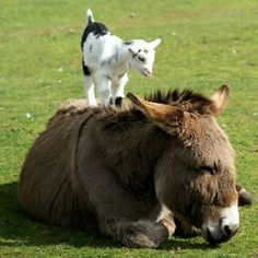 Our donkey used to give all the little goats piggy back rides. So adorable! Baby goat with a donkey! Cute Baby Animals, Farm Animals, Animals And Pets, Funny Animals, Mundo Animal, My Animal, Beautiful Creatures, Animals Beautiful, Cute Donkey