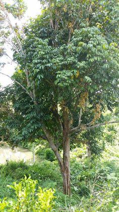 Langsat tree & fruit @ Seloi