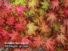 Buy Acer palmatum 'Peaches and Cream' Japanese Maple – Mr Maple │ Buy Japanese Maple Trees Potted Trees, Trees And Shrubs, Flowering Trees, Trees Online, Acer Palmatum, Woodland Garden, Maple Tree, Japanese Maple, Garden Trees