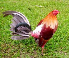 gallos y galleris facebook |