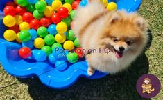 Are Pomeranians smart? how smart are Pomeranians as a dog breed in general compared to other breeds? Pomeranian intelligence level explained. Discover how smart a Pomeranian actually is and find out how to help your Pomeranian learn. #pomeranianhq #pomeranianheadquarters #pomeranianorg Pomeranian Dogs, Pomeranians, Dog Information, Dog Breeds, Training, Tips, Pomeranian, Work Outs, Excercise