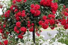 Rose Irena – Catalog rose types and rose varieties