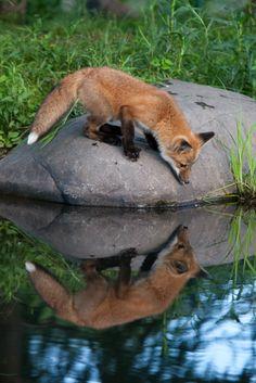 Red Fox Cub by Harvey Wildlife Photography - Greg Harvey