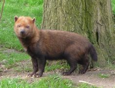 "Bush Dog, aka ""vinegar dog"" or ""vinegar fox"" - a canid from Central and South America. Their prey are paca, agouti, capybara, and all large rodents."