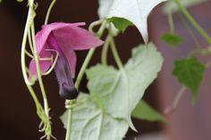 passiflora sommerflor blumen und pflanzen welche im sommer bl hen und die g rten versch nern. Black Bedroom Furniture Sets. Home Design Ideas