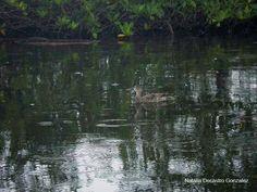 Blue-winged Teal | Bird Watching Panama | Tranquilo Bay Eco Adventure Lodge | Birds