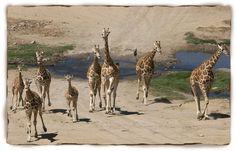 Giraffe Facts For Kids: Giraffe, Giraffe Facts, Giraffe Pictures | San Diego Zoo - Kids | San Diego Zoo - Kids