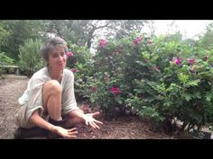 Deb Soule talking about the beloved▶ Rosa rugosa - wild Maine beach rose - YouTube