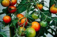 Jod w ogrodzie - dlaczego warto go używać - Genialne How To Store Tomatoes, Types Of Tomatoes, Varieties Of Tomatoes, Growing Tomatoes In Containers, Types Of Vegetables, Grow Tomatoes, Veggies, Small Space Gardening, Small Gardens