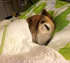 Sleeping Beagle (what is with beagles and the one ear flipped back while they sleep?)