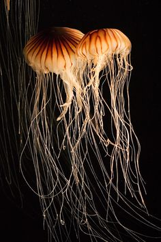 jellyfish entangled by ~secondclaw