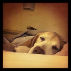 Thor makes any place home #yellow #lab #dog #travel #hotel