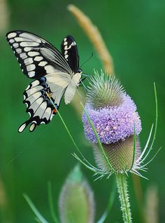 Swallow Tail Butterfly by  Bobbi saved from flickr.com