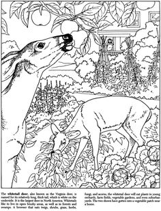 Deer Backyard Nature Coloring pages colouring adult detailed advanced printable Kleuren voor volwassenen coloriage pour adulte anti-stress kleurplaat voor volwassenen Line Art Black and White http://www.doverpublications.com/zb/samples/405605/children1b.htm