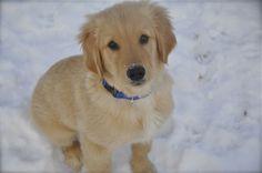 sweetest boy ev.er.   golden retriever puppy