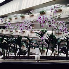 Singapore National flower