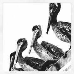 Photo from the Instacanvas gallery for joserondon85. Black & white pelicans #art #photography #beach