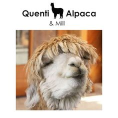 Alpaca Facts for kids: ALPACAS ARE USUALLY SAFE TO BE AROUND. Unlike some livestock alpacas are very quiet and gentle animals. Occasionally an alpaca may try to kick with its hind legs but its usually just a reflex from being touched on its rear. Alpaca Facts, Facts For Kids, Alpacas, Livestock, Nursing, Mothers, Walking, Drop, Legs