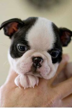 Working Dog Breeds The traits I love about the Boston Terrier Puppies Dog Breeds The traits I love about the Boston Terrier Puppies Terrier Puppies, Pitbull Terrier, Terrier Breeds, Cute Cats And Dogs, I Love Dogs, Best Dog Breeds, Best Dogs, Cute Puppies, Dogs And Puppies