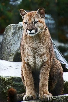 Cougar | Flickr - Photo Sharing!