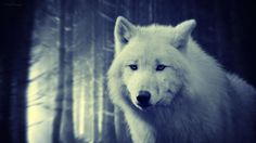 In the wolf form she watched for him...