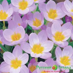 krokus_fayer_flay_id44749_image0_700w_700h.png (700×700)