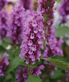 Agastache Rose Mint Seed