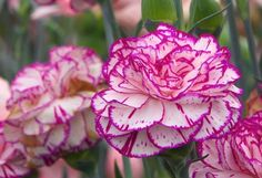 Dianthus caryophyllus o Clavel Común – Cuidados y Cultivo - https://jardineriaplantasyflores.com/dianthus-caryophyllus-o-clavel-cuidados-cultivo/
