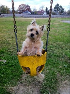"""Cairn Terrier """"what? Cairns, I Love Dogs, Cute Dogs, Cairn Terrier Puppies, Norwich Terrier, Summer Dog, Beautiful Dogs, Drawing, Fur Babies"""