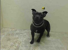 URGENT - Brooklyn Center   SASHA - A0993793   FEMALE, BL BRINDLE, PATTERDALE TERR MIX, 1 yr  STRAY - STRAY WAIT, NO HOLD Reason STRAY   Intake condition NONE Intake Date 03/12/2014, From NY 11237, DueOut Date 03/15/2014, I came in with Group/Litter #K14-170488 https://www.facebook.com/Urgentdeathrowdogs/photos_stream