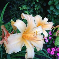 Beautiful peach Day Lilly