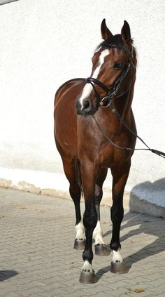 Feiner Kerl-Bavarian Warmblood   lol loos exactly like one of the horses at the barn I ride at!