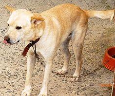 ADOÇÃO - BRANQUELO Labrador Retriever, Dogs, Animals, Pet Adoption, Labrador Retrievers, Animales, Animaux, Doggies, Labrador