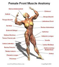 Anatomía muscular femenina