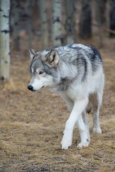 I love wolves...mysterious beings.