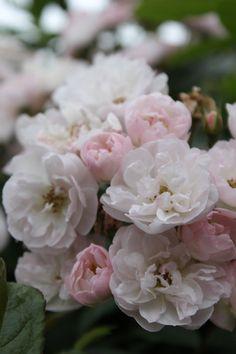 rose marie viaud rosier ancien grimpant liane haut 500cm non remontant bouquet de violettes. Black Bedroom Furniture Sets. Home Design Ideas