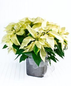 Beautiful poinsettia in a decorative pot makes for a stylish holiday greeting. The most recognized symbol of the holidays makes a lovely gift. #BlossomFlowerShops Cut Flowers, Fresh Flowers, Poinsettia Plant, White Plains, Flower Shops, Ceramic Decor, Blossom Flower, Flower Delivery, Decking