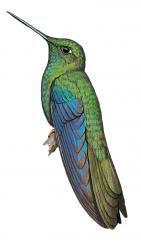 Great Sapphirewing (Pterophanes cyanopterus)