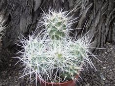 Tephrocactus alexanderi BRUCHII ichihualasto